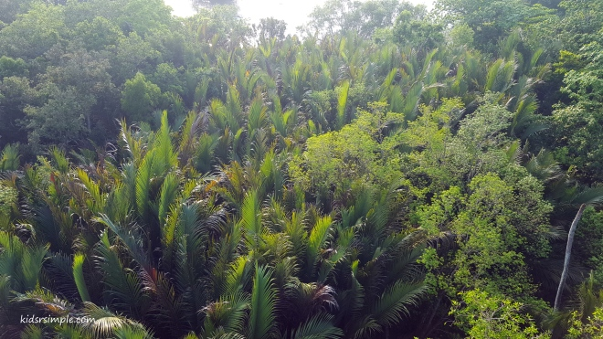 Nipa Palms